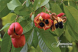 Jamaica Ackee Postcard