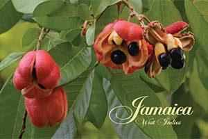 Ackee Fridge Magnet 011 Jamaica by KIMAGIC