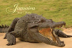 Crocodile Fridge Magnet 013 Jamaica by KIMAGIC