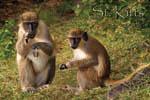 Saint Kitts green vervet monkeys fridge magnet 013