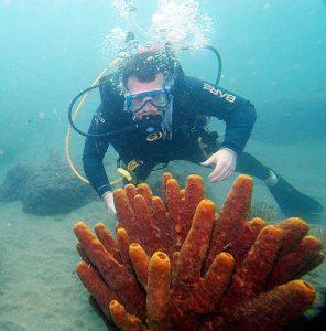 SCUBA Diver Frank Corlis is exploring the sponges