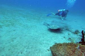 Stingray and Scuba Diver in Montserrat
