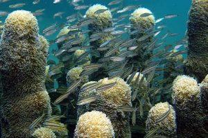 Schools of Fish near Pillar Coral, Montserrat