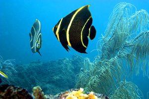 French Angelfish, Montserrat