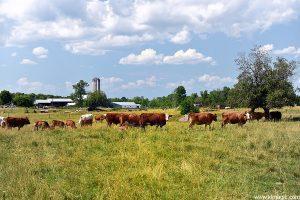 Cows and Farms... Perth area, Ontario